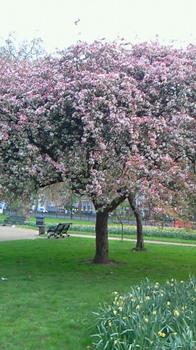 ロンドン桜.jpg